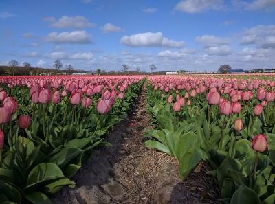 Noordwijk, Netherlands- Photo by me wandering in tulip fields after my visit of Keukenhof Spring Garden during my Amsterdam spring break trip of 2017